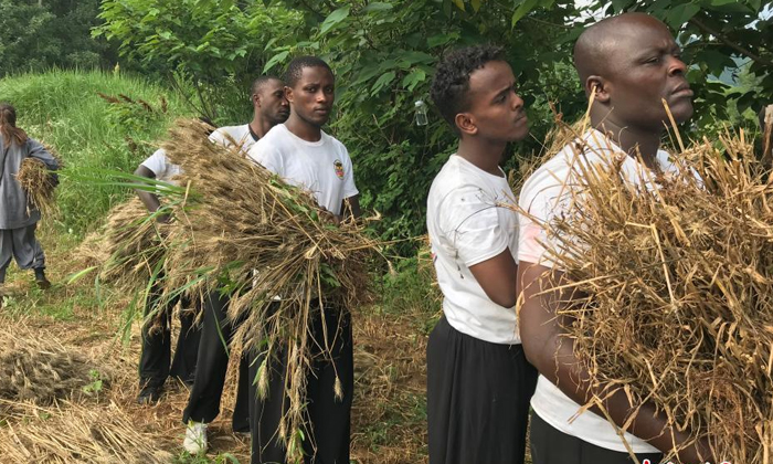 少林寺僧人组团收麦 师傅教洋弟子割麦